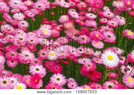 Mass planting of pink paper daisies everlasting daisies rodanthe. A native Australian flowering plant.