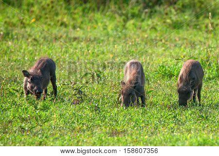 Three little pigs of warthog in Ngorongoro national park in Tanzania