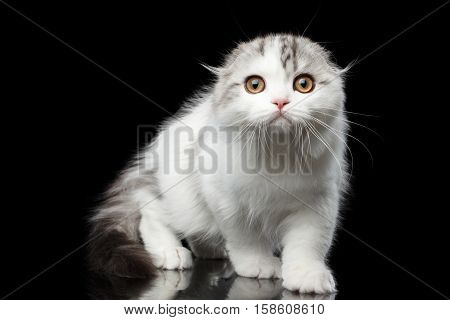 Furry white scottish fold highland breed kitten with tabby sneaks and curious looking in camera isolated black background, hunting cat