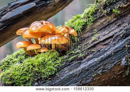 Closeup Shot Of Edible Mushrooms Known As Enokitake