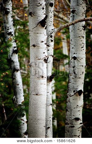 Birch And Pine Trees
