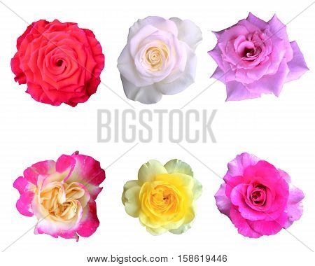 roses flowers collection isolated on white background