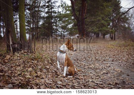Basenji dog walk in the park. Autumn day. Overcast sky. The dog sits near a tree