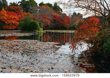Ripe persimmons and autumn colored maple trees reflecting in a beautiful pond during fall