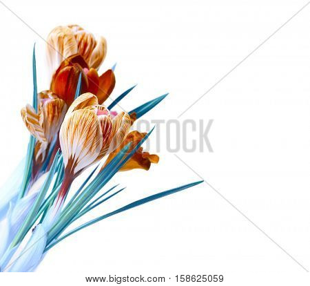 spring color crocus flower bouquet isolation on white
