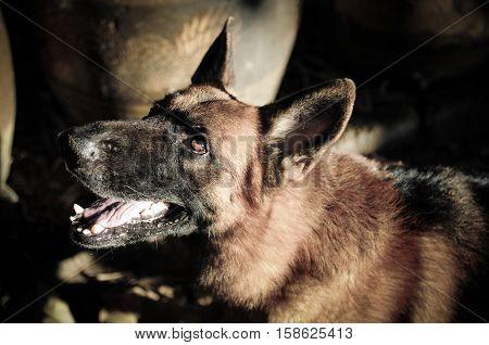 Close up German Shepherd or Alsatian, young German Shepherd, German Shepherd on the grass, dog in the park