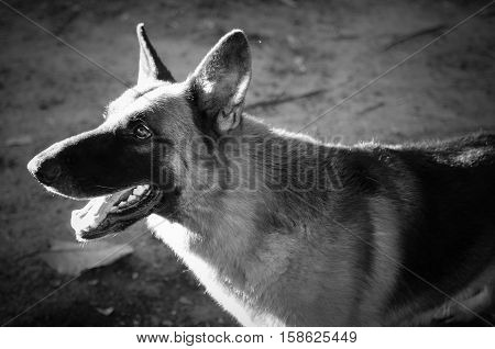 Close up German Shepherd or Alsatian, young German Shepherd, German Shepherd on the grass, dog in the park