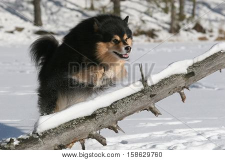 Purebred finnish lapphund jumping over a fallen tree during a sunny but cold winter day