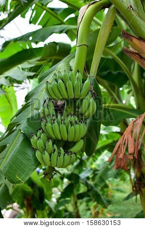 Banana tree with a bunch of bananas. Cultivated banana