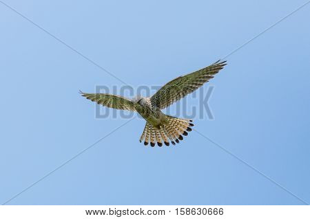 Common kestrel (Falco tinnunculus) during stationary flight with blue sky
