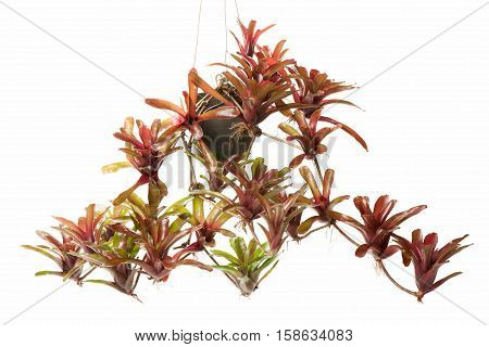 Bromeliad in flowerpot isolated on white background