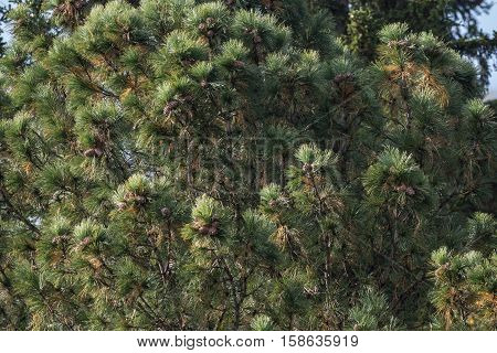 The Siberian cedar and cones hanging on it