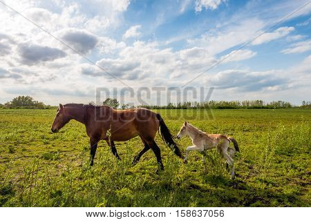 Backlit image of a Dutch landscape in springtime with a mare and her foal. The foal has difficulty keeping track of her mother.