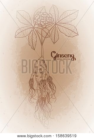 Graphic ginseng root and berries drawn in line art style. Herbal medicine. Vector plants isolated on the vintage background.