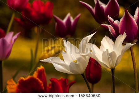 Tulip flowers in the spring garden. Photography of nature.