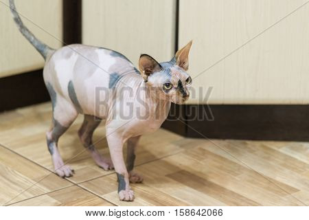 A Mottled Peterbald on the kitchen floor