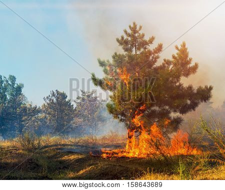 Forest fire. fallen tree is burned to the ground a lot of smoke in wildfire