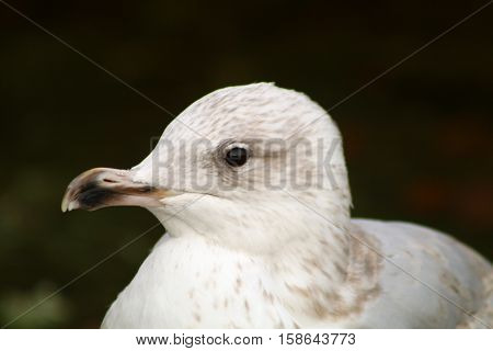 A second winter Herring Gull with twisted beak mandibles
