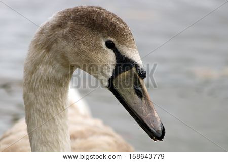 A juvenile Mute Swan or cygnet with grey feathers and beak