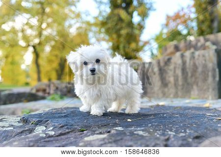 Small white maltese dog on the rock