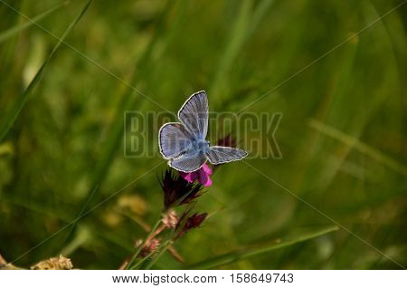 common blue (Polyommatus icarus) butterfly on the flower