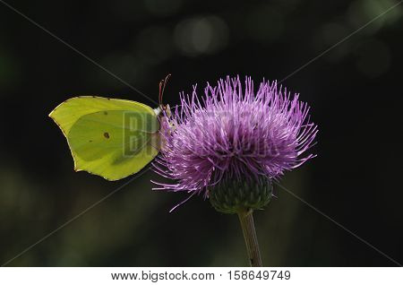 common brimstone (Gonepteryx rhamni) butterfly on the flower