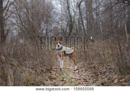 Basenji Dog Walking In The Park
