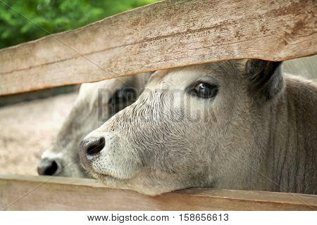 Cow, closeup