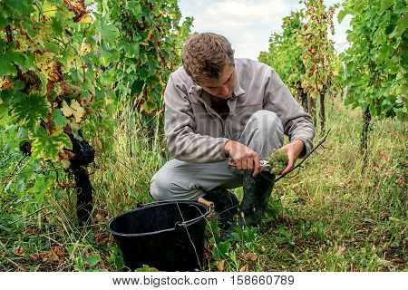 A young man picking ripe white grapes into a basket