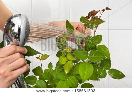 hands pouring from the shower rose to clean dust off and hydrate it