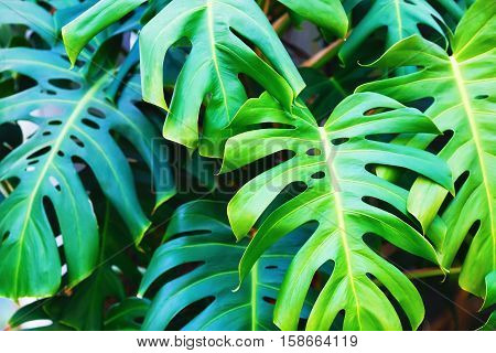 Green monstera leaf. Bright green lush leaves. Shallow depth of field. Selective focus.