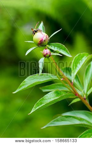 bee on a green bush with unblown peony flowers