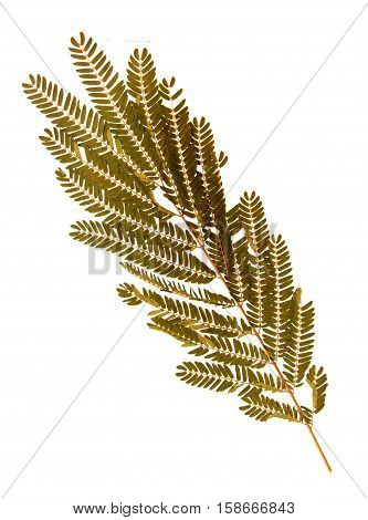 Pressed and dried leaf of Persian silk tree (Albizia julibrissin) on white background for use in scrapbooking floristry (oshibana) or herbarium.