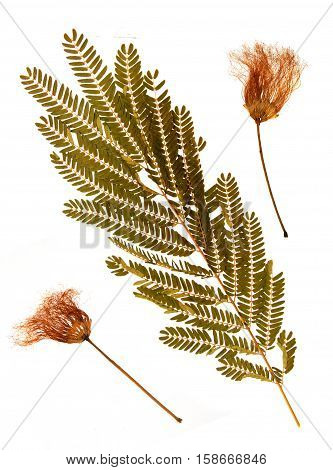 Pressed and dried leaves and flowers of Persian silk tree (Albizia julibrissin) on white background for use in scrapbooking floristry (oshibana) or herbarium.