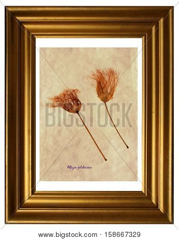 Herbarium from pressed and dried flowers of Persian silk tree with Latin subscript (Albizia julibrissin) in the frame on white background.