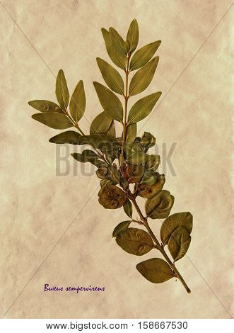 Herbarium from pressed and dried leaf of Common Box on antique brown craft paper with Latin subscript Buxus sempervirens.