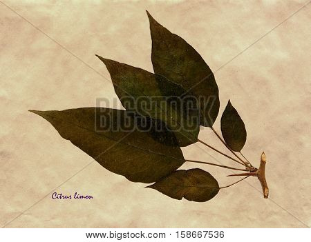 Herbarium from pressed and dried leaf of Lemon on antique brown craft paper with Latin subscript Cítrus límon