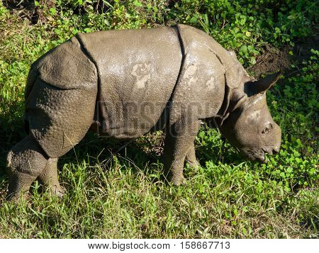 The little baby armored Rhino is eating the green grass in Chitwan National Park, Nepal