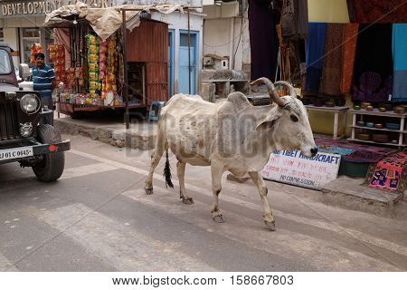 PUSHKAR, INDIA - FEBRUARY 17,  2016: cows strolling around in the city of Pushkar, India. Most Hindus respect the cow for her gentle nature which represents the main teaching of Hinduism.