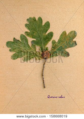 Herbarium from pressed and dried leaf of pedunculate oak on antique brown craft paper with Latin subscript Quercus robur.