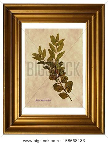 Herbarium from pressed and dried leaf of Common Box with Latin subscript (Buxus sempervirens) in the frame on white background.
