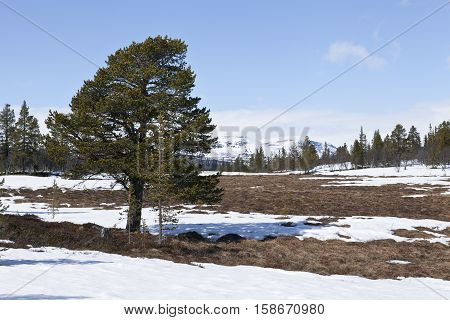 Pine, wetland and snow in the mountain. Tussock, forest and mountain in the background.