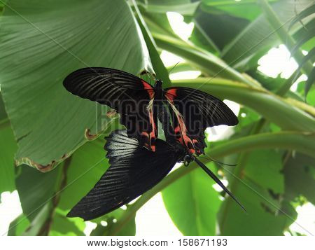 Mating of  butterflies: a male and a female are attached to each other at the abdomen