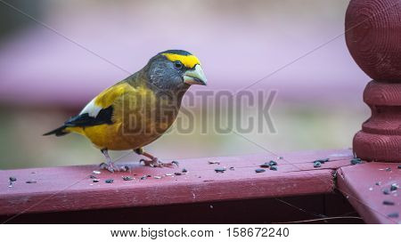 Yellow branded Evening Grosbeaks (Coccothraustes vespertinus)  on a deck having seed lunch. Heavyset finch in northern coniferous forests, adds splash of color to winter bird feeders every few years