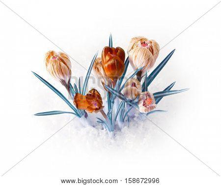 spring color crocus flower bouquet