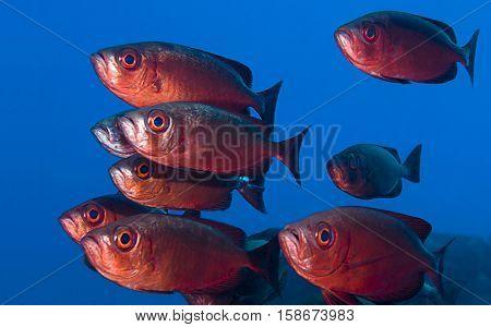 Shoal of Crescent-tailed Bigeye Fish