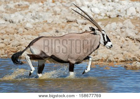 Gemsbok antelopes (Oryx gazella) running in water, Etosha National Park, Namibia