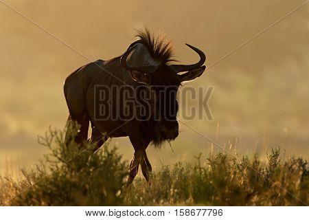 Blue wildebeest (Connochaetes taurinus) in dust at sunrise, Kalahari desert, South Africa