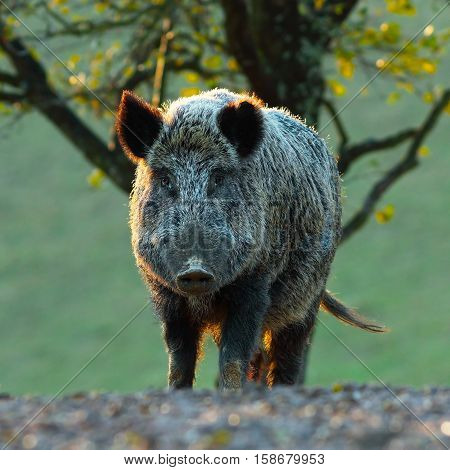 big wild boar looking at camera ( Sus scrofa )