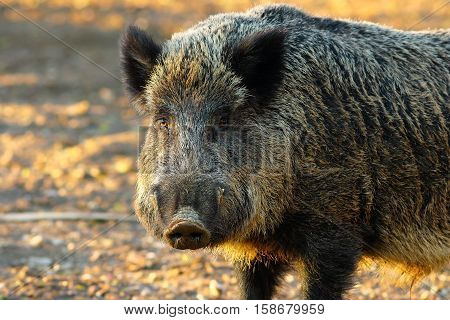 close up of big wild boar ( Sus scrofa ) in sunset light